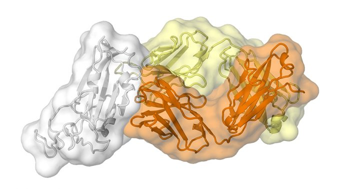 Clues to COVID-19 coronavirus's vulnerability emerge from an antibody against SARS